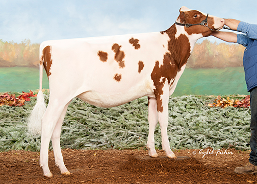 OCD Jordy Lochness-Red-ET; Unanimous All-American R&W Winter Calf 2018
